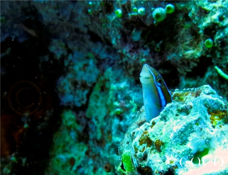 The Blue-striped Blenny