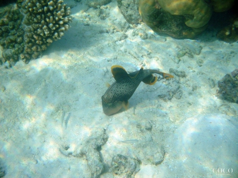 Yellow-margin Triggerfish