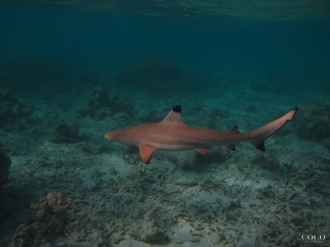 "Good"" One Of The Friendly Black Tip Reef Sharks On Dhuni Kolhu House Reef"