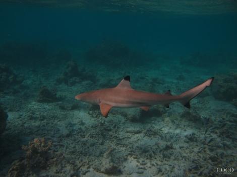 "Good"" One Of The Friendly Black Tip Reef Sharks On Dhuni Kolhu House Reef"