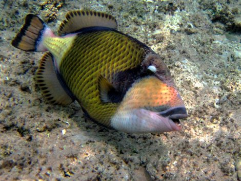 The Titan Triggerfish Smile