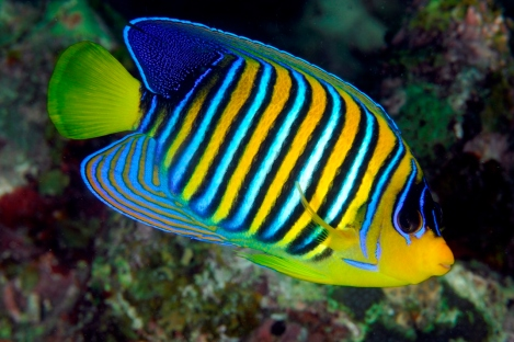 Her Empress Angelfish: The Most Beautiful Fish On The Reef
